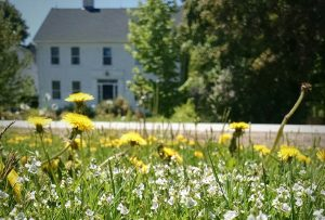 All you need to know about dandelions maintenance and prevention