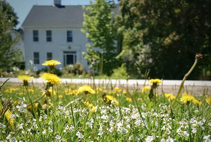 dandelions near the house